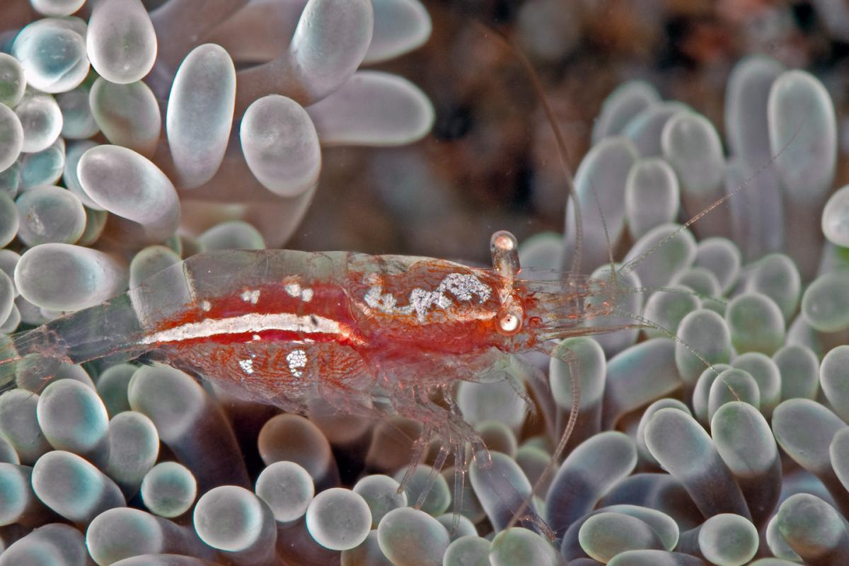 Unidentified Anemone Shrimp.jpg