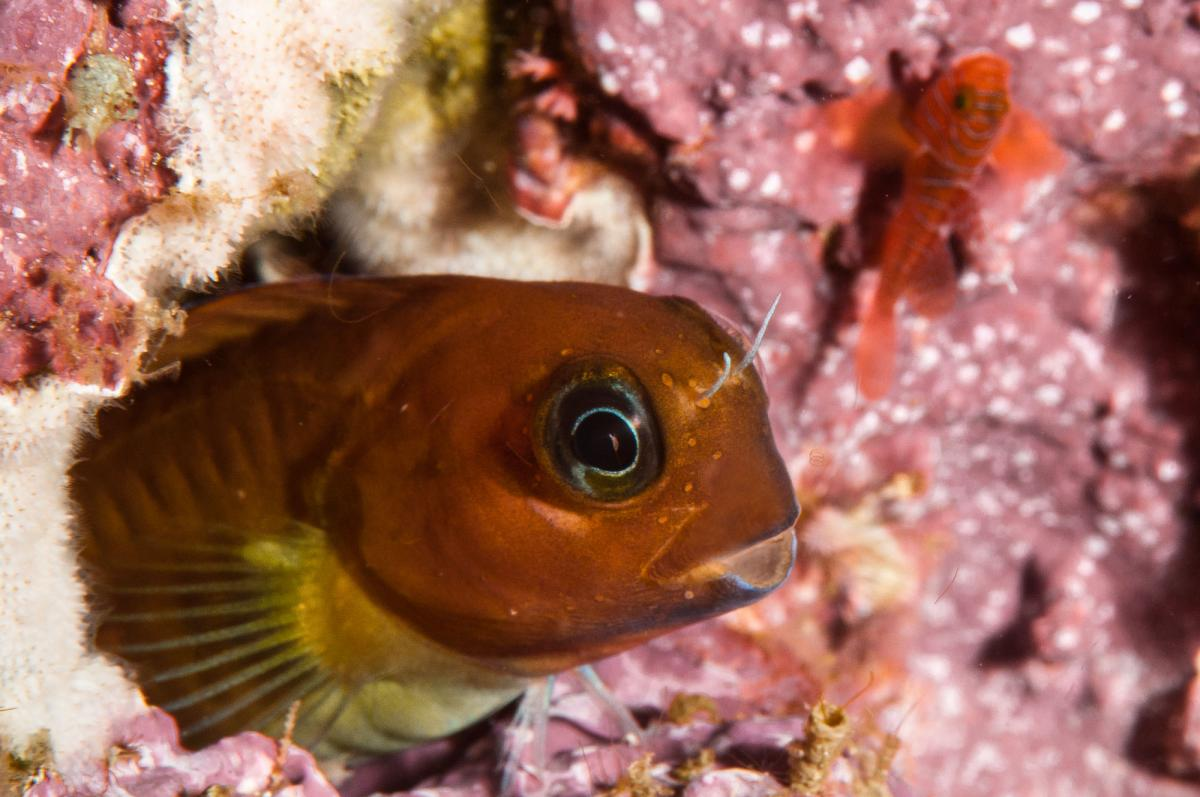 Unidentified Blenny -  Raja Ampat (Masool), Indonesia.jpg