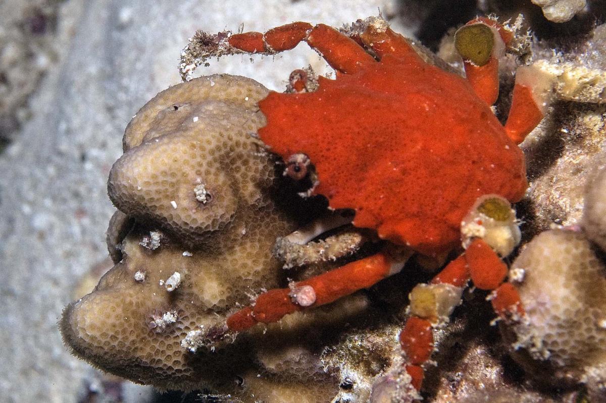 Unidentified Crab - Dumaguete, Philippines.jpg