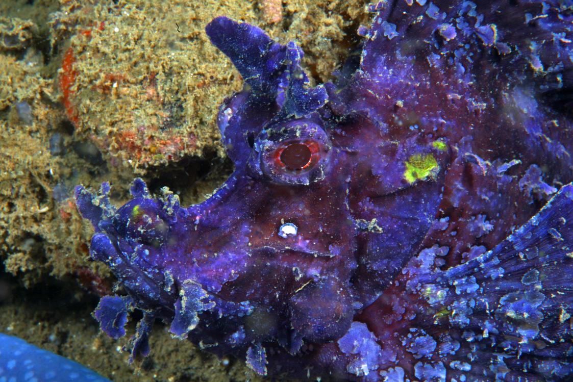 Lacy-Scorpionfish-1.jpg