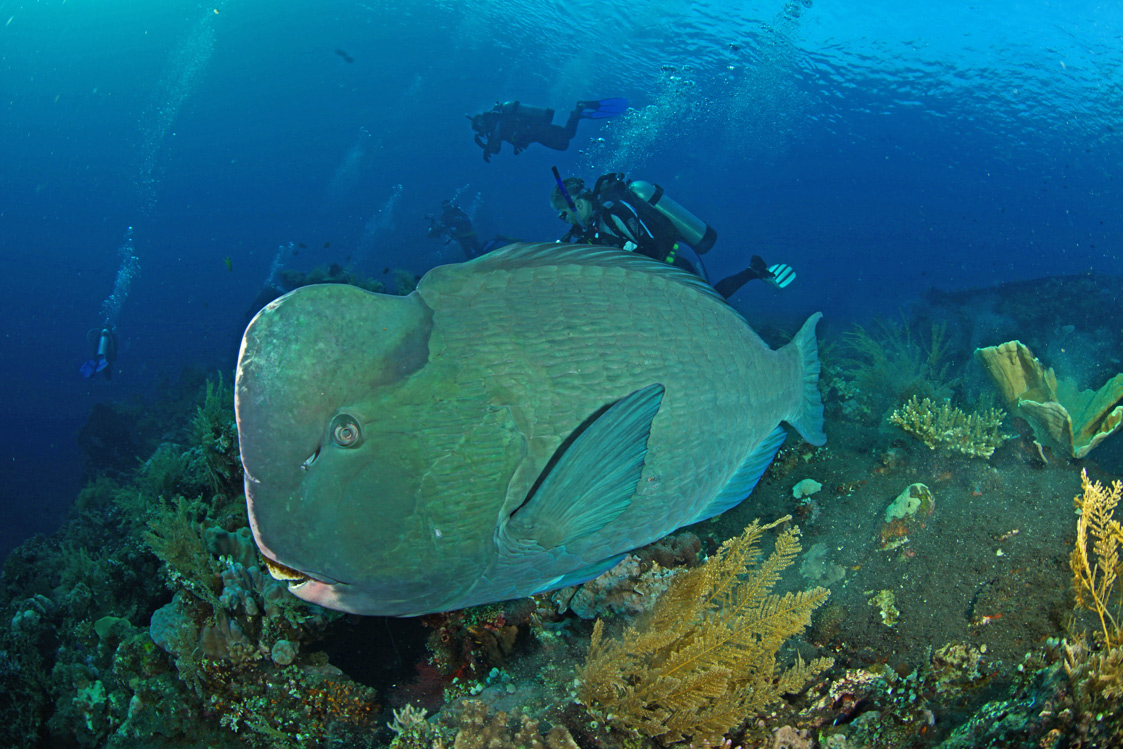 Bumphead-Parrotfish-1.jpg