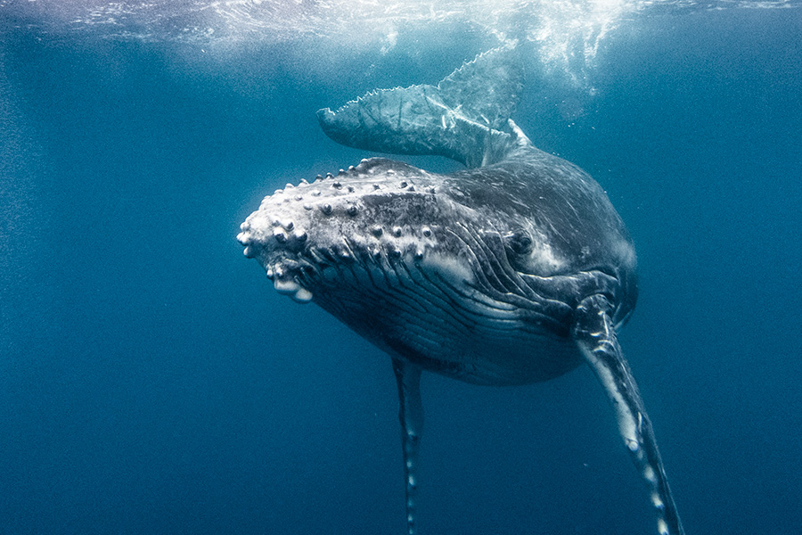 whalecalf5.jpg