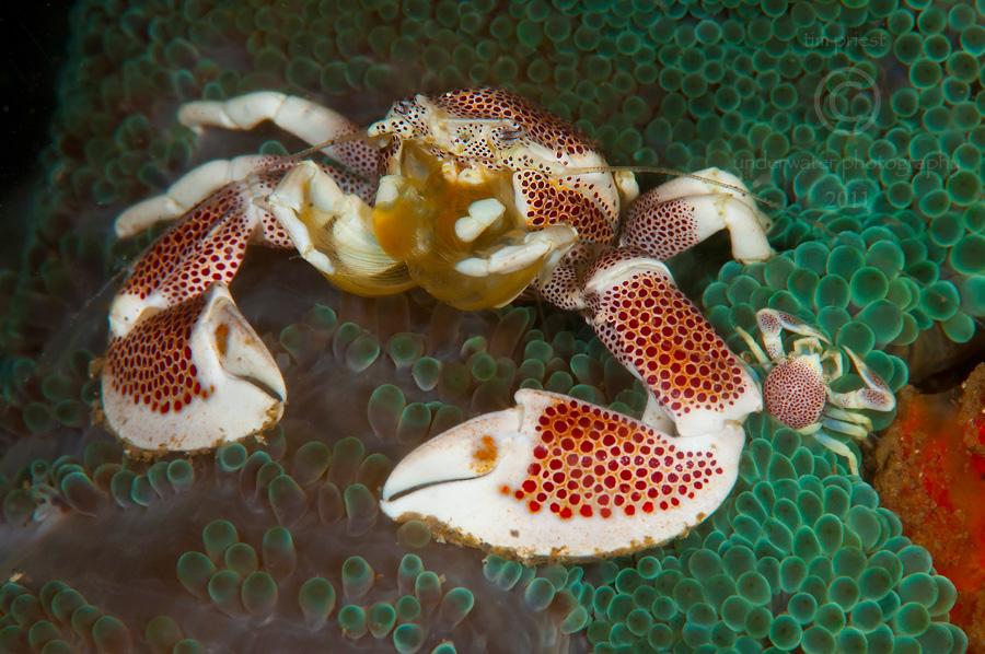 Indonesia_2011_151_0867_Sumbawa_Porcelain_crab_Neopetrolisthes_oshimai.jpg