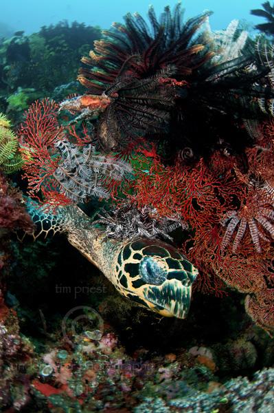 Indonesia_2011_059_0446_Rinca_Hawksbill_turtle.jpg