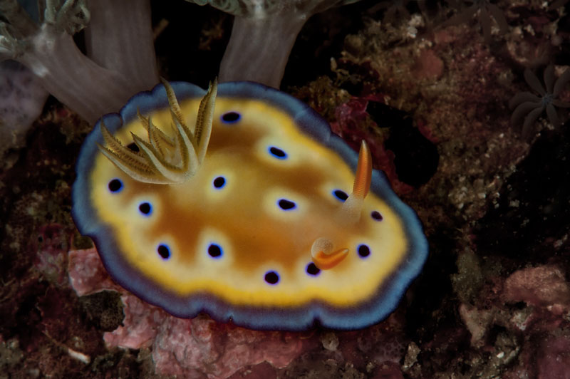 Indonesia_2011_0471_Rinca_Chromodoris_kuniei_nudibranch.jpg