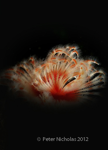 tube worm.jpg