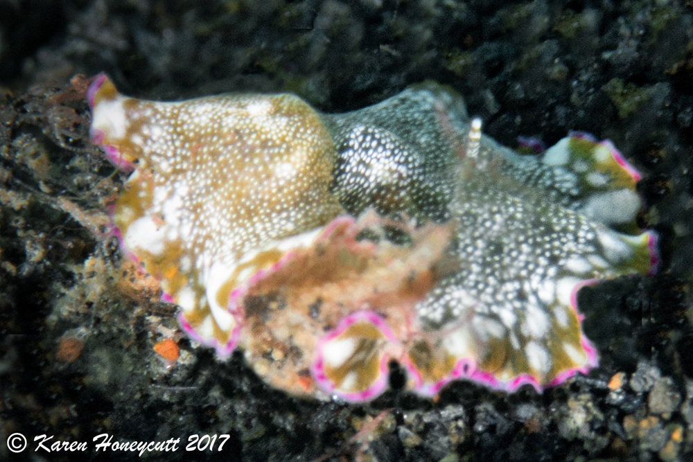 Unidentified Flatworm with candle - Lembeh.jpg