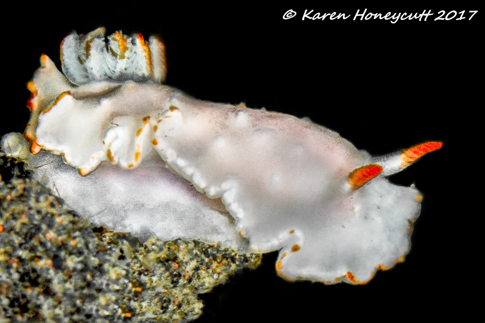 Thorunna furtiva (Nudibranch) - Lembeh, Indonesia.jpg
