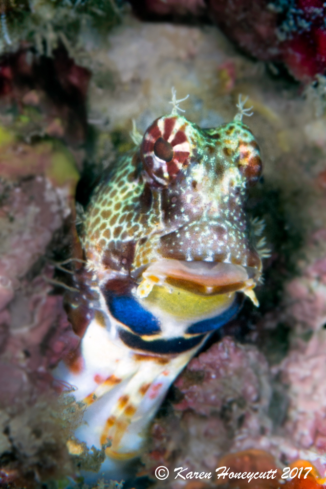 Unidentified Blenny - Lembeh.jpg