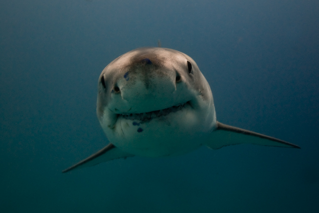 2008_June_Neptune_Islands___Great_White_Sharks_0556.jpg