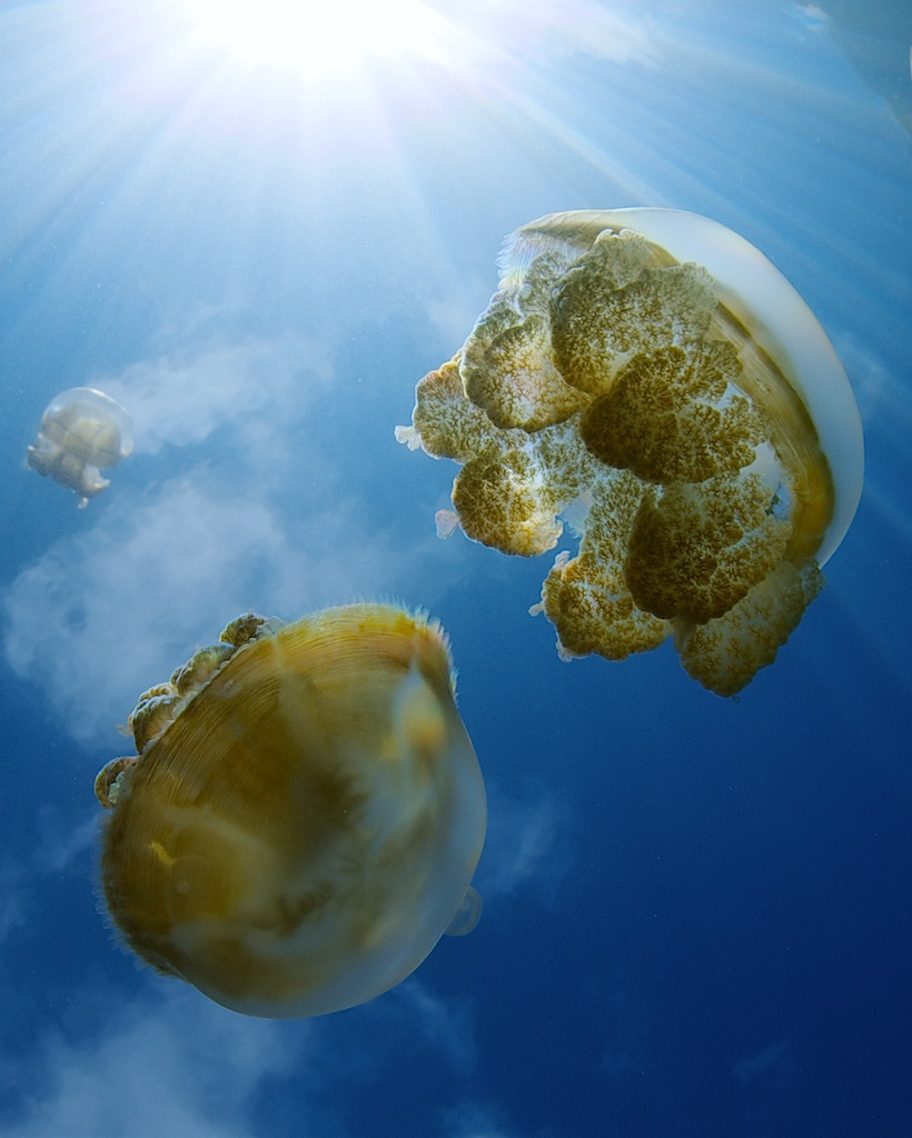 Palau_flying_jellies.jpg