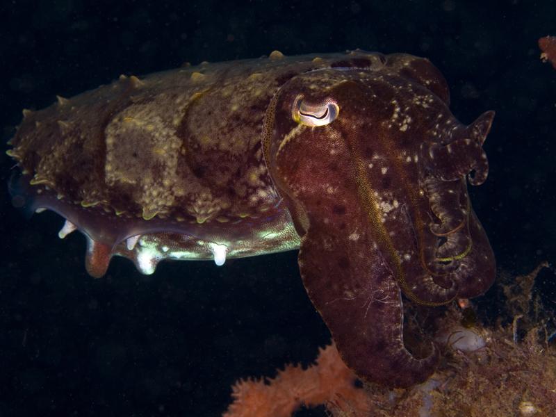 flamboyantcuttlefish_2Philippines2008_WP.jpg