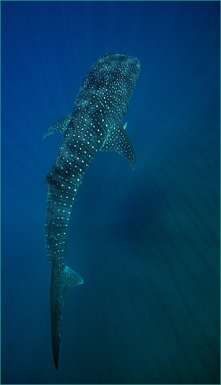 wa_whaleshark_phunter.jpg