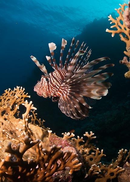 Red_Sea_2010_068c_Ras_Toronbi_Common_lionfish.jpg