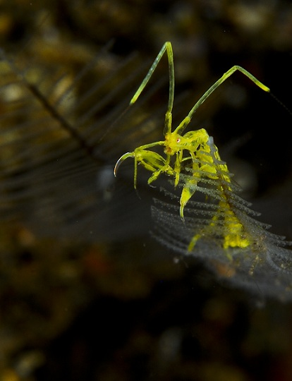 yellow_skeleton_shrimp_4002.jpg