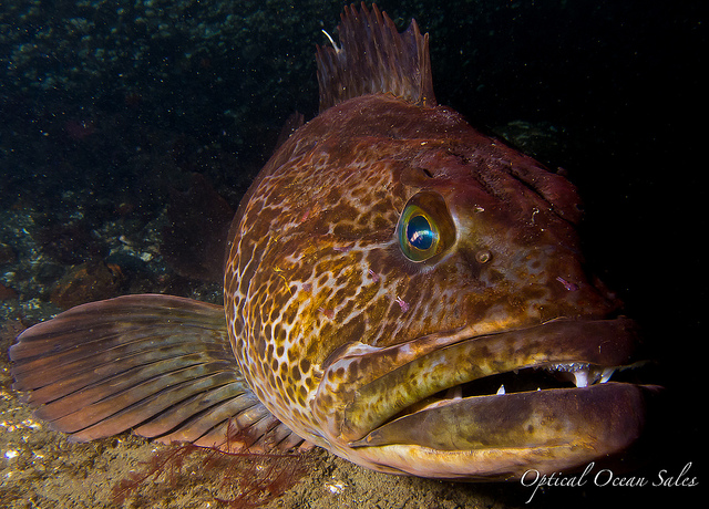 Big_Ass_Ugly_Lingcod.jpg