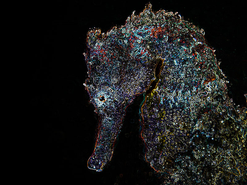 2009_Indonesia_157_Lembeh_Common_seahorse_abstract.jpg