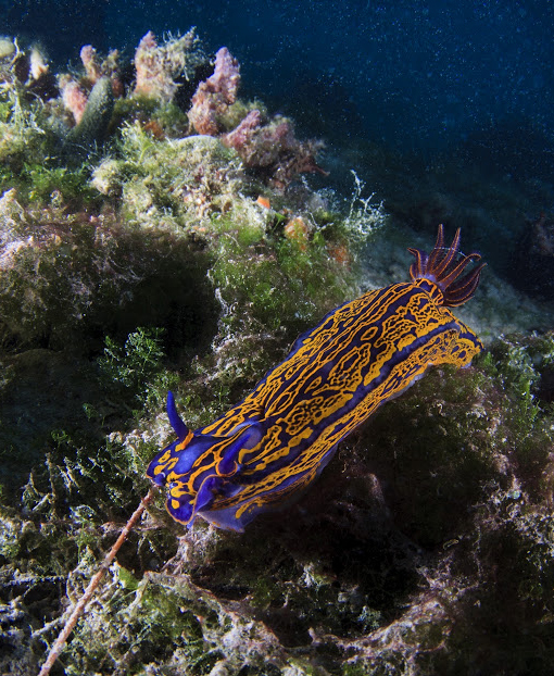 harrington-nudibranch_vert.jpg