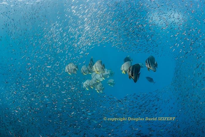 SEIFERT.DaramBatfishNBaitfish_DSC1975.jpg