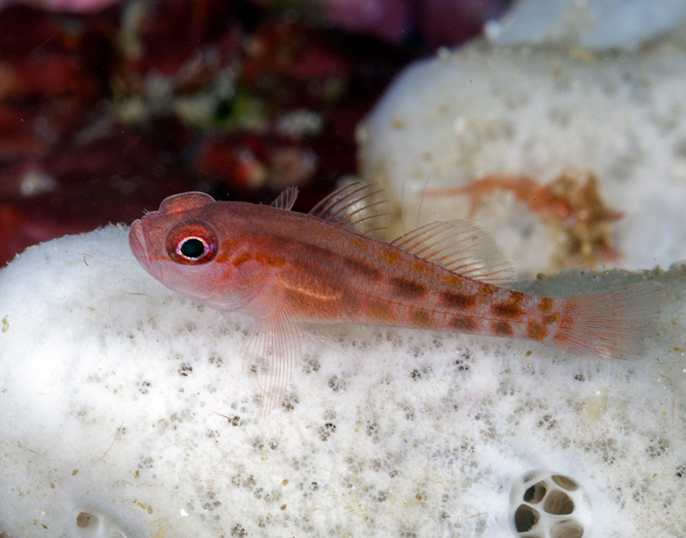 Goby Unknown.jpg