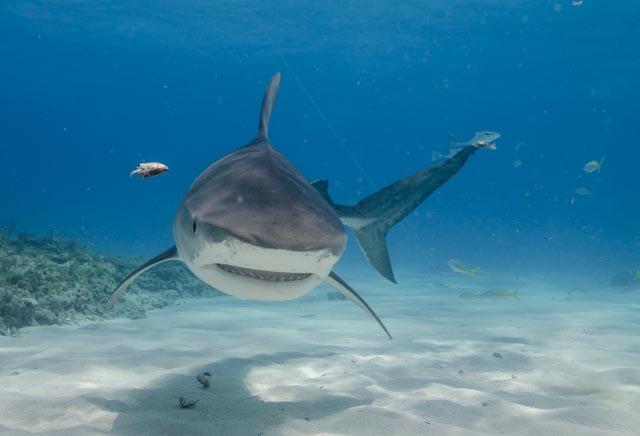 Tiger sharks-135.jpg