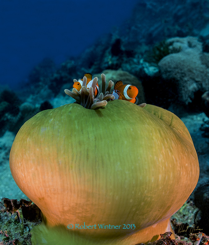 Anemone Clownfish Mr & Mrs at Home.jpg