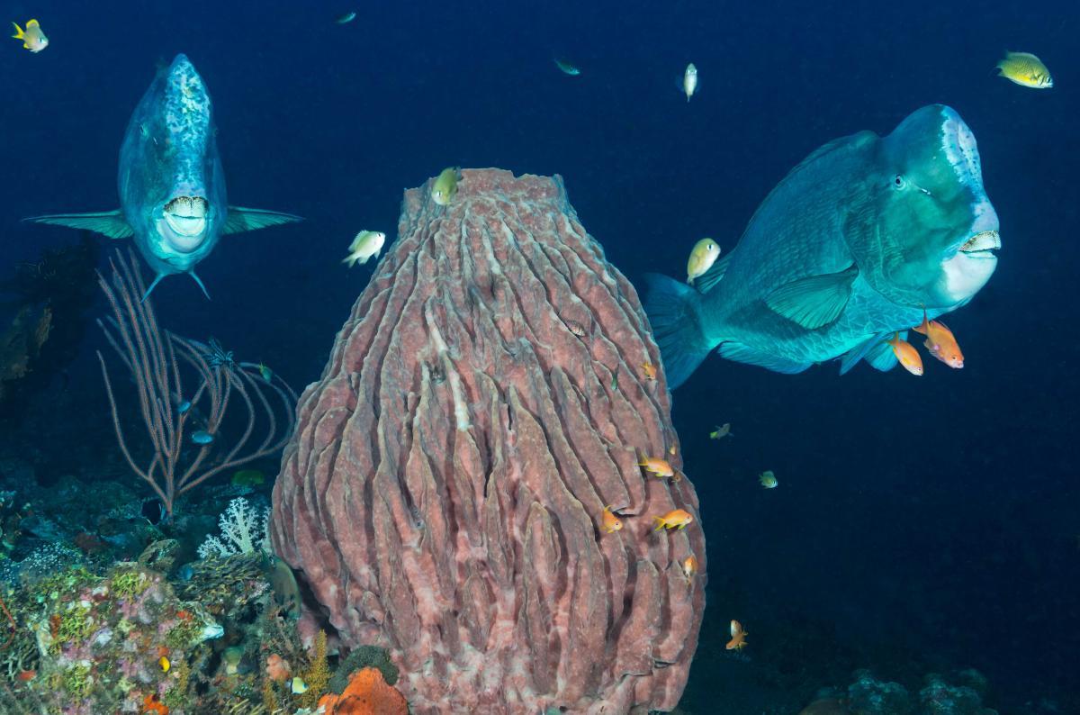 Parrotfish Bumphead.jpg