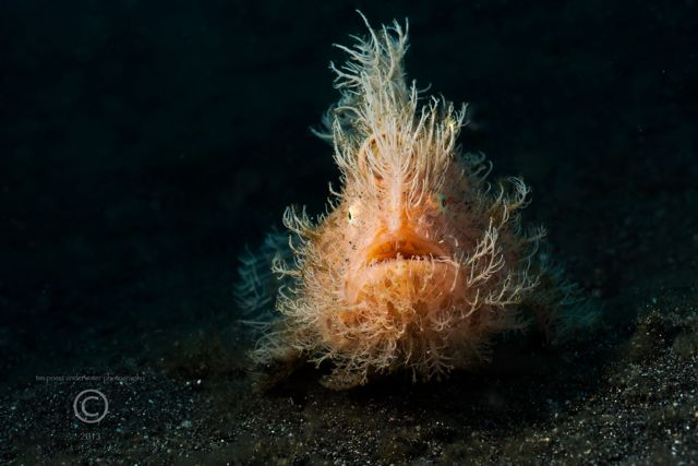 2013 Lembeh 61 131 Aer Prang 1 Hairy striated frogfish.jpg
