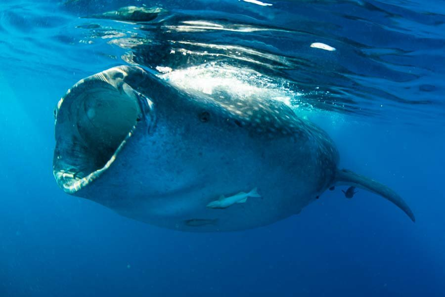 WhaleSharkAug19-1.jpg