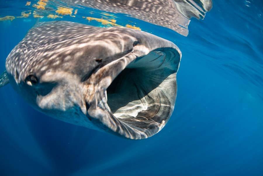 WhaleSharkAug19-10.jpg