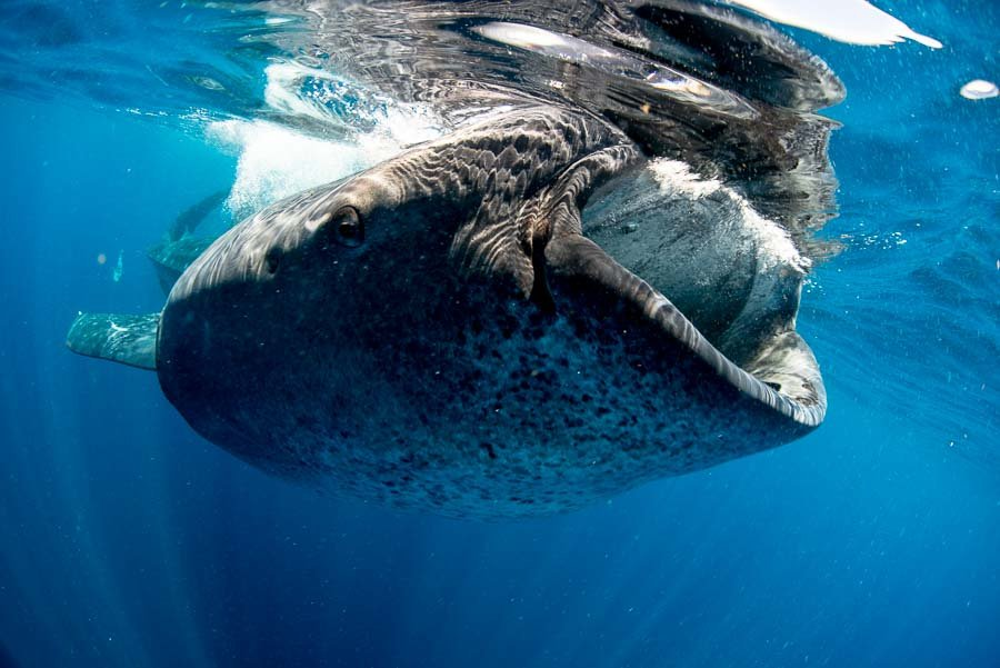 WhaleSharkAug19-13.jpg