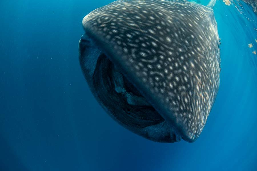 WhaleSharkAug19-20.jpg