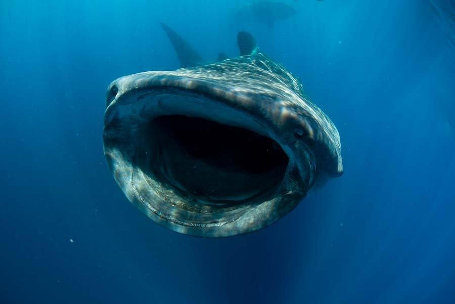 WhaleSharkAug19-5.jpg