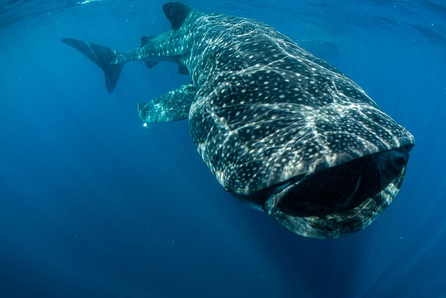 WhaleSharkAug19-6.jpg