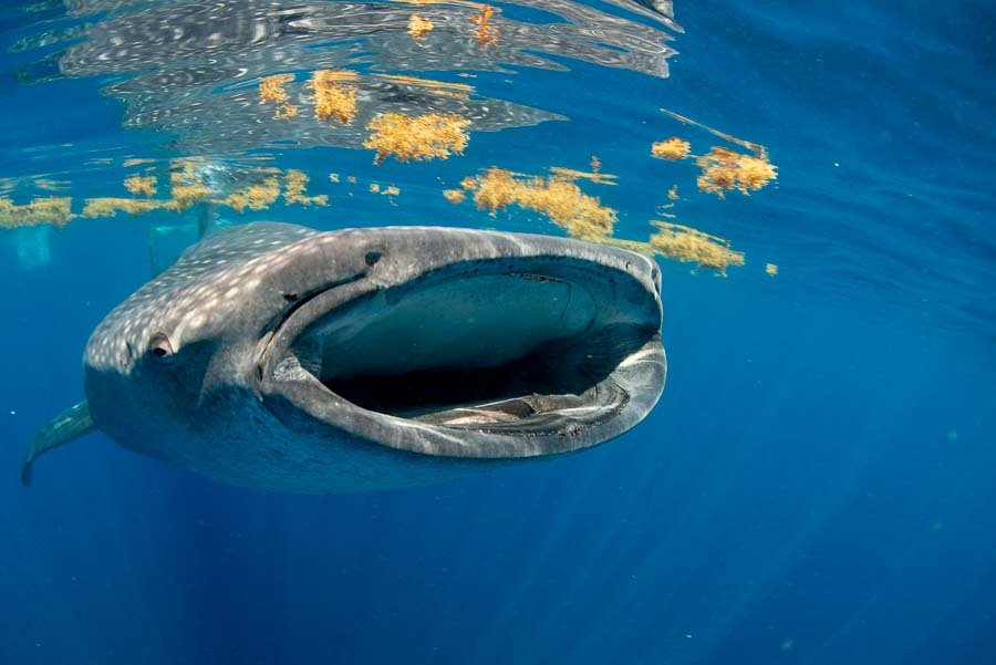WhaleSharkAug19-9.jpg