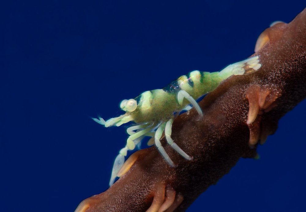 whip-coral-shrimp-blue-BG-1600.jpg