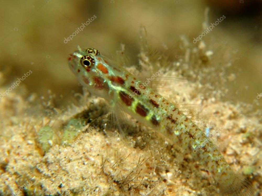depositphotos_24867719-stock-photo-spotted-pygmy-goby-eviota-guttata.jpg