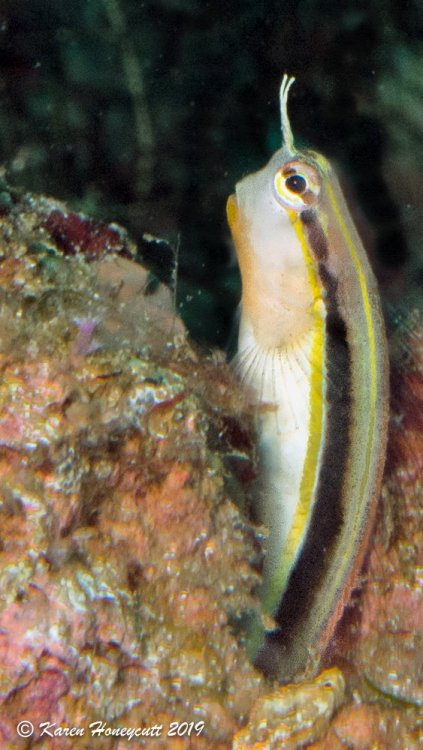 Unidentified Combtooth Blenny - Bat Cave, Triton Bay, Indonesia.jpg
