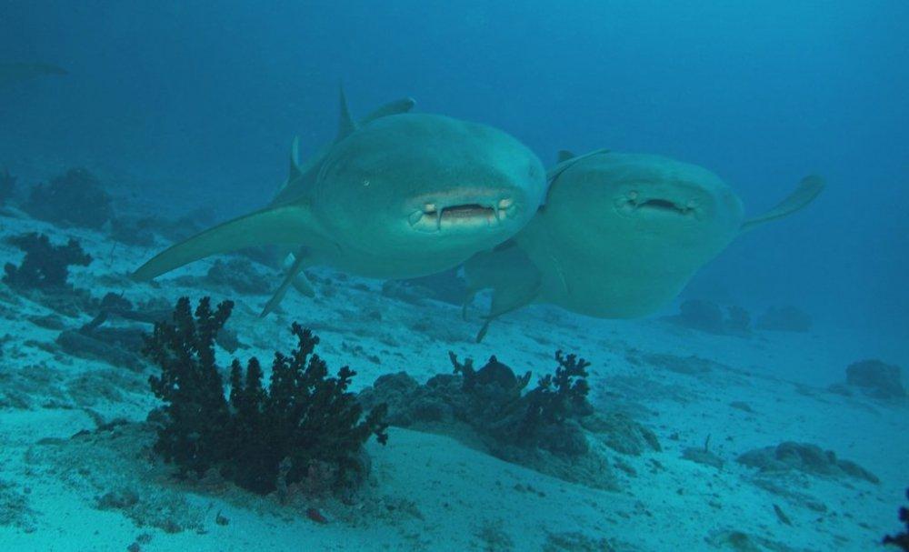 nurse-shark-08539_s.jpg