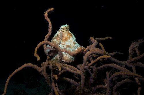 carribean reef octopus DSC07439aa lr.jpg