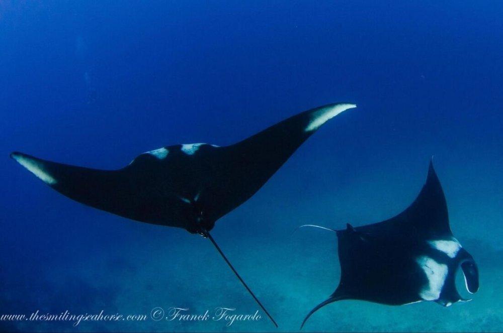 2-manta-rays_orig.thumb.jpg.c7dca7a7c91f8c7605dde7dd586e729e.jpg
