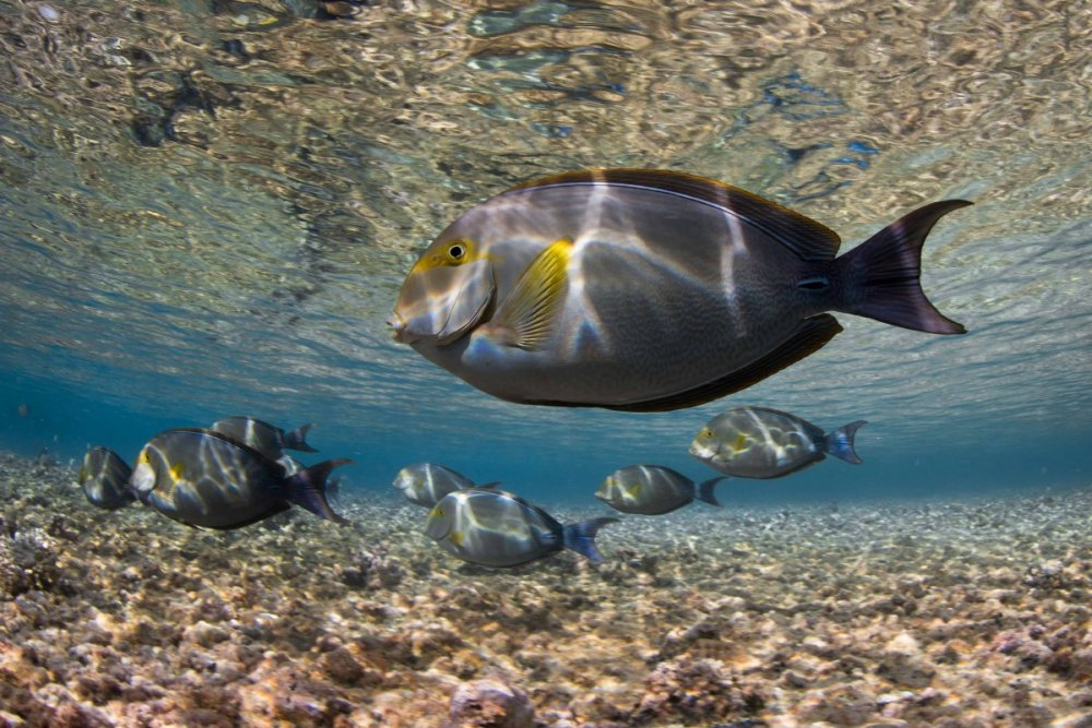 Eyestripe Surgeonfish.jpg