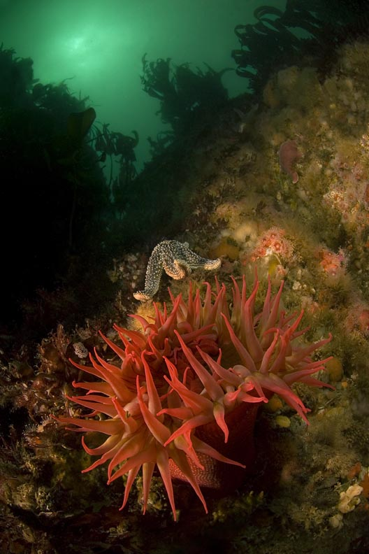 small_anemone_CFWA.jpg