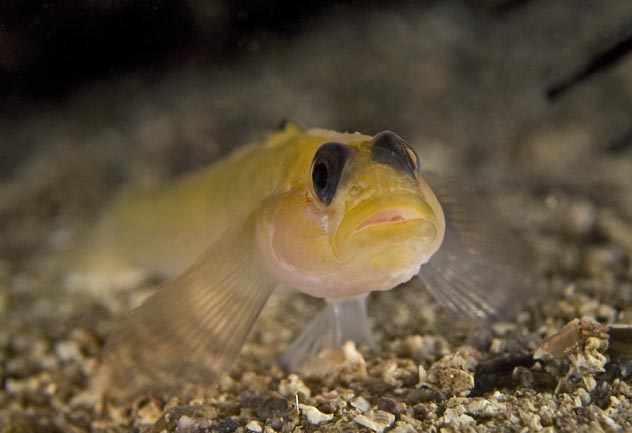 small_blackeye_goby.jpg