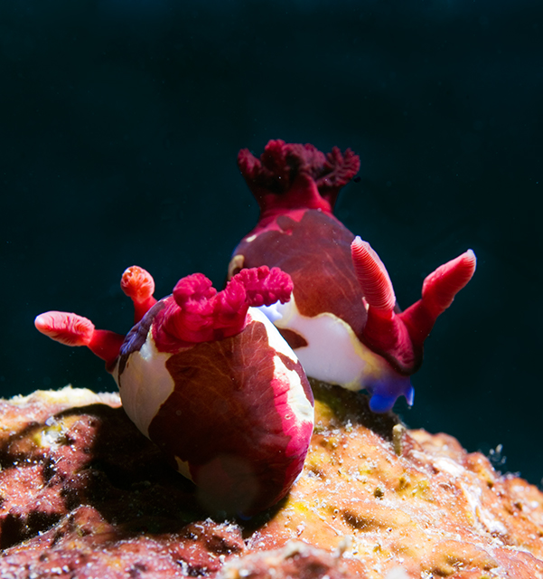 sea_slug_sex.jpg