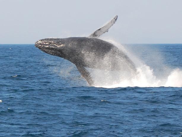 breaching_whale_2_e.jpg