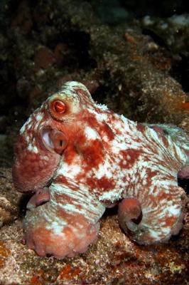Bah2006Octopus.jpg
