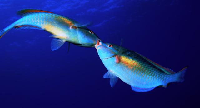 ParrotFishFight.jpg