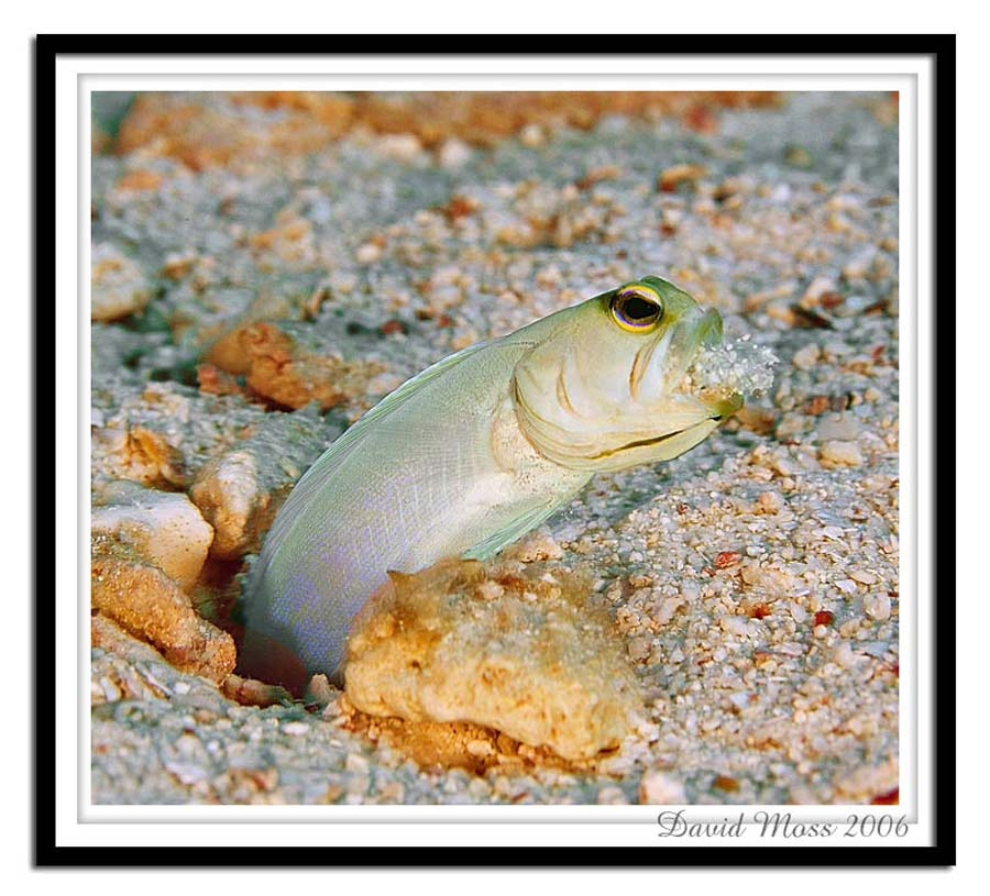 Jawfish_Web.jpg