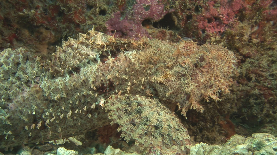 scorpionfish_wide_small.jpg